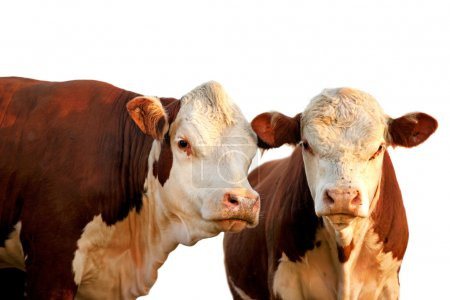 Two curious cows