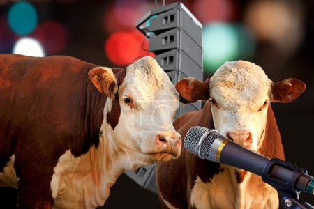 Photo for Two cows singing or talking into microphone - Royalty Free Image
