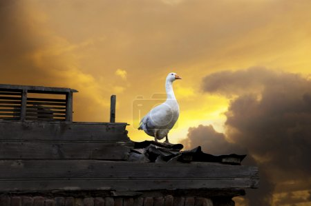goose on orange sky