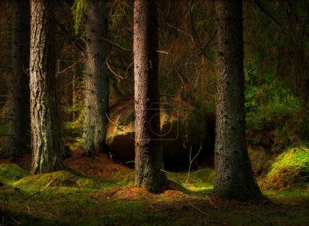 Photo pour Forêt avec des conifères et gros rocher dans la lumière du soir magique - image libre de droit