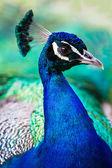 PeacockProfile