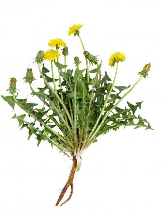 dandelion plant with yellow flowers