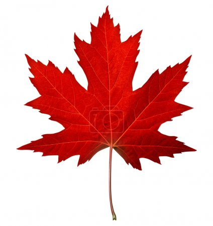 Photo for Red maple leaf as an autumn symbol as a seasonal themed concept as an icon of the fall weather on an isolated white background. - Royalty Free Image