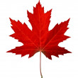 Red maple leaf as an autumn symbol as a seasonal t...
