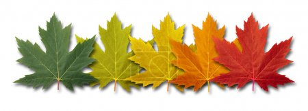 Photo for Autumn border element Leaves with five maple leaf foliage arranged in a multi colored seasonal themed concept as a symbol of the fall transition and change in weathe - Royalty Free Image
