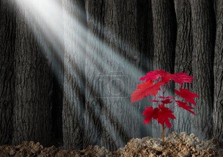 Photo pour Grande métaphore commerciale potentielle avec une vieille forêt sombre de grands arbres et un jeune plant de feuilles rouges émergeant du sol comme symbole de croissance future et d'espoir pour l'avenir comme icône de la croissance des investissements et de la conservation de la nature . - image libre de droit