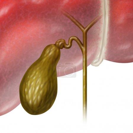 Photo pour Vésicule biliaire ou vésicule biliaire organe interne humain en fonction du système digestif pour stocker la bile dans le système biliaire du corps comme concept d'illustration médicale sur fond blanc . - image libre de droit