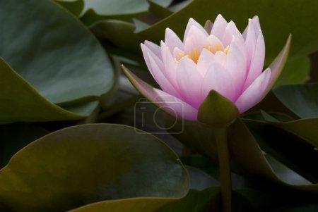 Photo pour Luce rosa waterlily nella metà delle foglie - image libre de droit