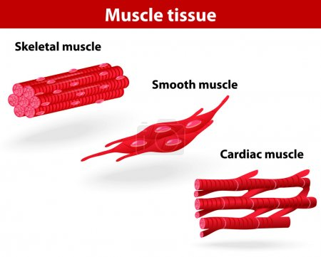 Illustration for Types of muscle tissue. Skeletal muscle, smooth muscle, cardiac muscle. Vector scheme - Royalty Free Image