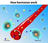 Hormones work Vector