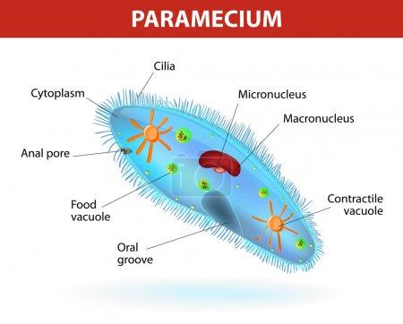 Structure of a paramecium