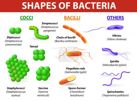 Types of bacteria. Basic morphological differences between bacte