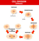 Mitosis process cell division