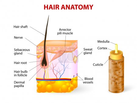 Illustration for Hair anatomy. Vector diagram. The hair shaft grows from the hair follicle consisting of transformed skin tissue. The epidermal cells transform at the command of the dermal papilla cells and generate the hair shaft. - Royalty Free Image