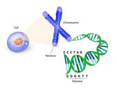 Human cell chromosome and telomere