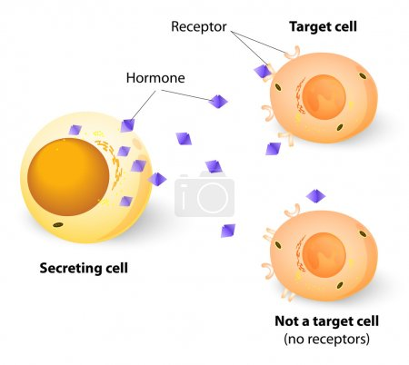 Hormones, receptors and target Cells