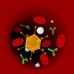 Antibodies attacking a virus in blood vessel. Medi...