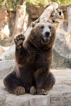 Friendly brown bear sitting and waving a paw in th...