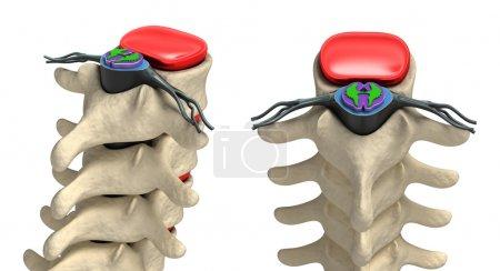 Human spine in details: Vertebra, bone marrow, disc and nerves