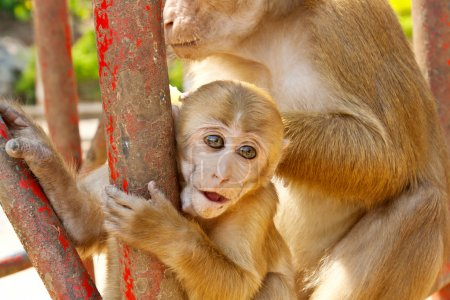 Mother Monkey holding her baby in zoo