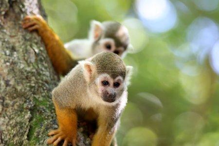 Photo pour Primates populairement connu au Brésil comme odeur de singe - image libre de droit