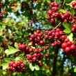 Постер, плакат: Hawthorn red berries on the bush