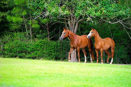 Thoroughbred Pair in Meadow