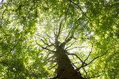 Gigantic Beech Tree