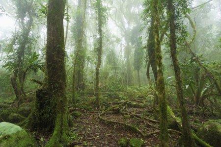 Photo pour Forêt tropicale australienne humide et mousseuse enveloppée de nuages . - image libre de droit