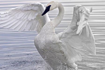 Photo pour Cygne trompette battement et en étirant ses ailes magnifiques dans les eaux du marais - image libre de droit