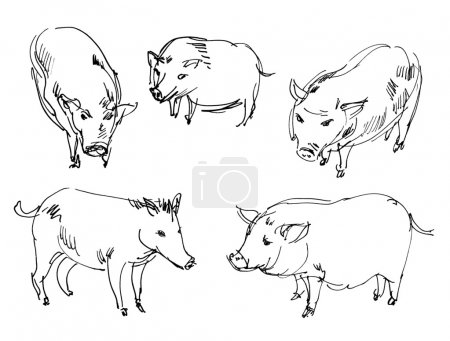 Photo pour Cochon vietnamien. le sanglier. ensemble. main-tirage au sort - image libre de droit