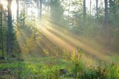 Sun beams in foggy forest