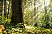 Sun beams in foggy forest
