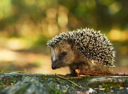 Young hedgehog in natural habitat...