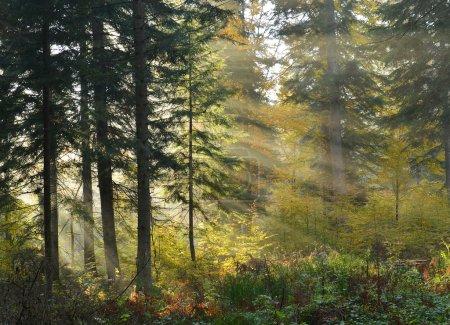 Photo pour Beaux rayons de soleil dans la forêt de pins - image libre de droit