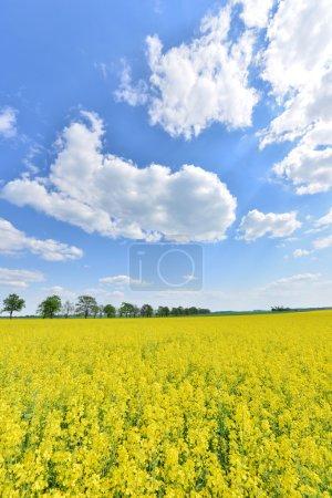Photo pour Paysage estival avec champ de fleurs jaunes et ciel nuageux bleu - Pologne - image libre de droit