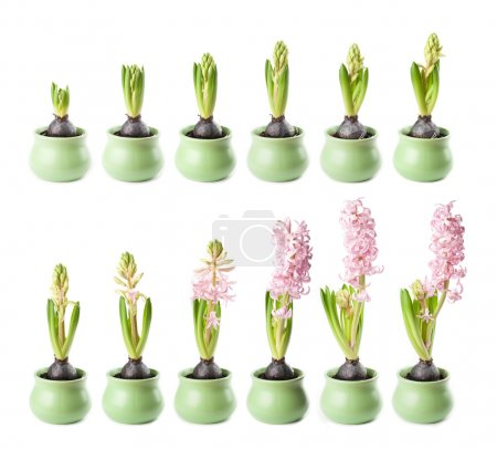 Pink hyacinth timelapse