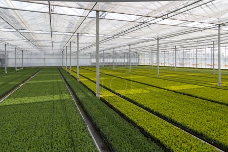 Cultivation of cupressus in a Dutch greenhouse