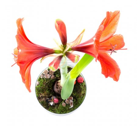 Top view of amaryllis in flower pot over a white background