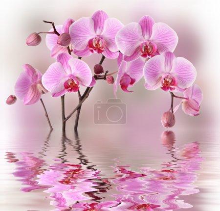 Foto de Orquídeas rosadas con reflexión de agua - Imagen libre de derechos