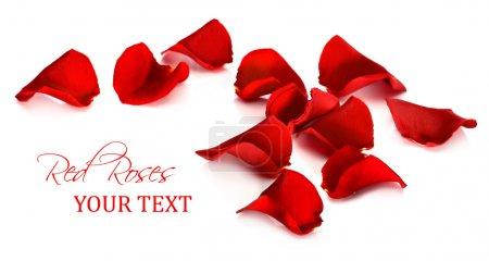 Foto de Pétalos de rosas rojas sobre un fondo blanco - Imagen libre de derechos