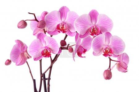 Photo pour Orchidées pourpres isolées sur fond blanc - image libre de droit