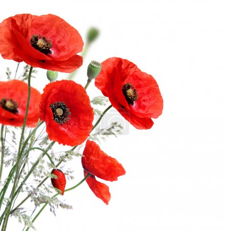 Photo for Poppy flowers isolated on a white background - Royalty Free Image