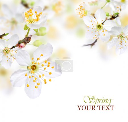 Photo for Spring blossom background with white flowers - Royalty Free Image