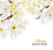 Spring blossom background with white flowers