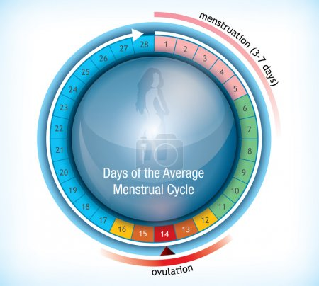 Illustration for Circular flow chart with shiny centre with a female figure showing the average number of days days in a menstrual cycle and the period on menstruation and ovulation - Royalty Free Image