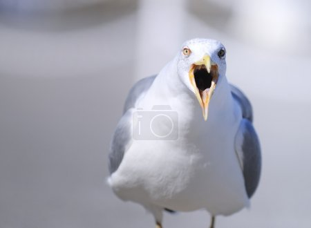 Yellow-legged gull.