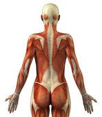 Anatomie ženské svalového systému