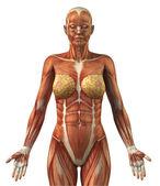Anatomie des weiblichen frontal Muskulatur