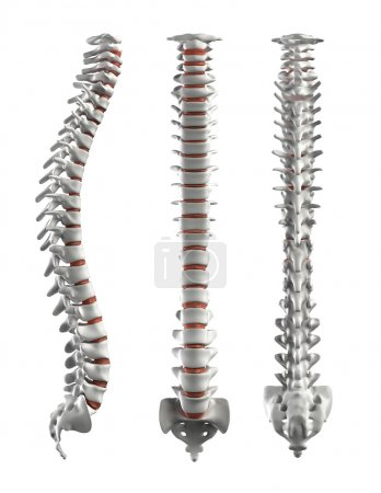 Detailed spine with Intervertebral discs - clipping path